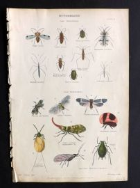 Richardson 1862 Hand Col Print. Chinese Lantern Fly, Lice, Insects
